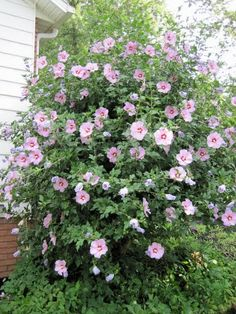 rose of sharon bush - blooms in June in Zones 6/7