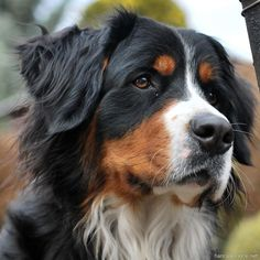 Nely - Bernese Mountain Dog by hancule83
