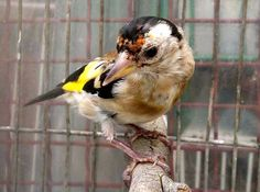Très beau Chardonneret 😍 حسون رائع https://www.youtube.com/+bilelseg https://www.facebook.com/ChardonneretBilelKios/ https://www.instagram.com/bilelkios/ #الحسون #المقنين #القرديل #Chardonnerert #Canari #Mulet #MuletOiseau #Oiseau #Birds #Animaux #Goldfinch #Jilguero #Cardellino #καρδερίνα #Sakakuşu #Chien #Chat #Pigeon #Cheval #Science #Reptile #Poisson #Plantes #Hibiscus #Alger #Algérie #Tunisie #Maroc #ChardonneretGolden #BilelKios