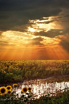 Sunflower field sunset in the Republic of Serbia situated at the crossroads of Central and Southeast Europe