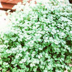 Lettuce, Herbs, Vegetables, Plants, Instagram, Herb, Vegetable Recipes, Plant, Salads