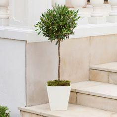 indoor / outdoor - Olive tree