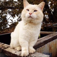 Cat: Jubal, my Flame Point Munchkin cat.  Picture taken by my husband.