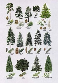 Conifer Trees, Trees And Shrubs, Trees To Plant, Larch Tree, Deciduous Trees, Types Of Pine Trees, Types Of Christmas Trees, Christmas Decor, Tree Identification