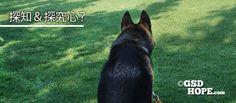 シェパードといっても全ての犬が探究心や探知力を付ける、全ての行動に対して完璧にこなすということではありません。でもコツがあります。