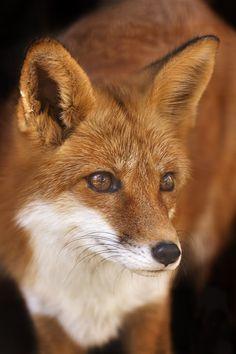 socialfoto: Hello Mr. Fox by cruzincanines #SocialFoto