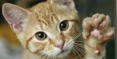 How many likes for my cat - your daily dose of funny cats - cute kittens - pet memes - pets in clothes - kitty breeds - sweet animal pictures - perfect photos for cat moms Cute Kittens, Cats And Kittens, Kitty Cats, I Love Cats, Crazy Cats, Cat Paws, Dog Cat, Cat Cpr, Gatos Cool