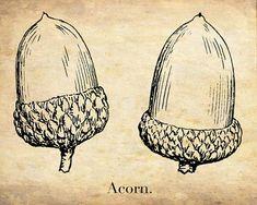 Vintage Botanical Print - The Acorn - Woodland Art Print - Sepia Monochrome Art - Rustic Decor Print
