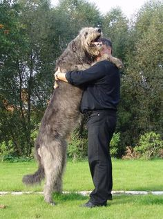 such a happy guy! I need a good wolfhound hug.