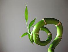 Lucky Bamboo Lucky Bamboo, Water Plants, Garden, Flowers, Black, Urban, Garten, Black People, Aquatic Plants