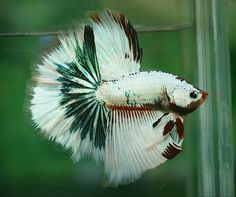 Archived Auction # - Red koi - Ended: Mon Jan 5 2015 Betta Fish Types, Betta Fish Care, Colorful Fish, Tropical Fish, Poisson Combatant, Betta Aquarium, Nano Aquarium, Cool Fish, Beta Fish