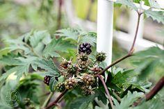 Oravankesäpesä | Siperialainen karhunvadelma Rubus allegheniensis