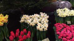 Tulips in Holland at Lentetuin Breezand Part 2 - 5 March 2016