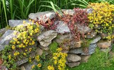 Sedum fühlt sich an einem sonnigen Standort wohl in den Mauerfugen, wie hier in der Natursteinmauer von Userin  Woidgarten