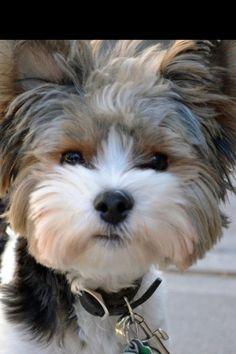 """Biewer Terrier, """"Fonzie"""""""