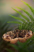 Brahmaea certhia. By: Igor Siwanowicz