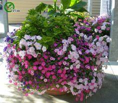 Free Shipping 200 petunia seeds -- MIX Petunia,rare variety, hardy,lasting balcony, yard flower T029