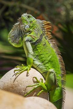 """""""Iguana is a genus of herbivorous lizards native to tropical areas of Mexico, Central America, several islands in Polynesia such as Fiji and Tonga, and the Caribbean. Reptiles Et Amphibiens, Mammals, Cute Baby Animals, Animals And Pets, Beautiful Creatures, Animals Beautiful, Iguana Verde, Chameleon Lizard, Green Iguana"""