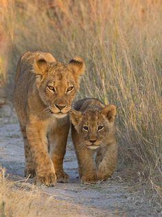 Lion cubs in Hwange National Park, Zimbabwe - Pixdaus Beautiful Cats, Animals Beautiful, Beautiful Places, Cute Baby Animals, Animals And Pets, Big Cats, Cute Cats, Regard Animal, Gato Grande