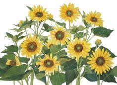 Yellow Sunflower Group Original Watercolor by wandazuchowskischick