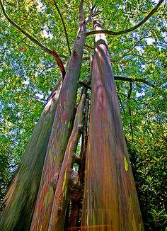 Colurful Eucalyptus Tree, the beauty of nature.