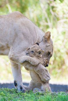 Little lion cub gets a hug from its Mom at Zoo Miami.