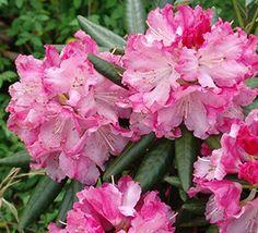 Southgate® Brandi™ Rhododendron