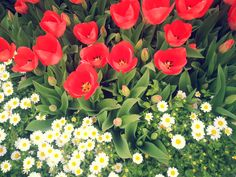 Photograph by Meral Meri tulip-lâle-daisy-papatya-colorful flowers-spring-ilkbahar-Photograph by Meral Meri