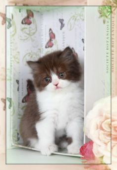 Chocolate Persian Kittens | Chocolate Persians | Chocolate Cats