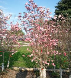 Dogwood Tree Transplanting How And When To Move A Dogwood