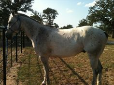 Finished head horse    This is Smokey he is a finished Head Horse – 12yr old Grey 15.3 1150 sound you ride to the hip or get wide . #5 Elite roper has been roping on him! Lots of speed . Has won lots of money-buckles-saddles Has been loped around barrels done real good He is located in Purdon, TX He is a great deal at $8200 Contact Traci Davis 254-433-0806 www.Cowboy4Sale.com