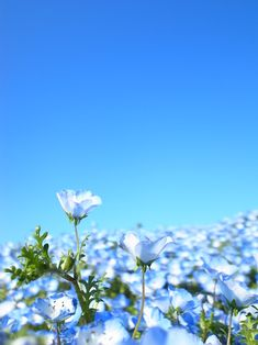 Blue Hill (Nemophila) Hitachi Seaside Park, Japan ひたち海浜公園 #ネモフィラ #Nemophila