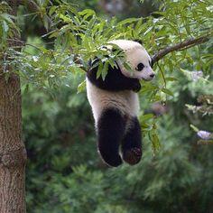 Bao Bao The Baby Panda Tumble Through The Snow Hanging Panda, I enjoy Panda's so much.Hanging Panda, I enjoy Panda's so much. The Animals, Nature Animals, Cute Baby Animals, Funny Animals, Baby Pandas, Baby Panda Bears, Wildlife Nature, Nature Nature, Images Of Animals