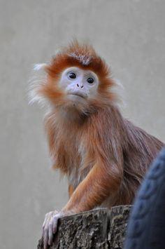 Javan Lutung (by Truus & Zoo)