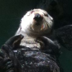 Sea Otter Seattle Aquarium