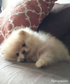 Marvelous Pomeranian Does Your Dog Measure Up and Does It Matter Characteristics. All About Pomeranian Does Your Dog Measure Up and Does It Matter Characteristics. Cute Puppies, Cute Dogs, Dogs And Puppies, Doggies, Cute Baby Animals, Animals And Pets, Cute Pomeranian, Pomeranian Memes, Dog Friends