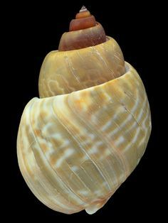BABYLONIIDAE AMBULACRUM BABYLONIA - Philippines Seashell Identification, Snail Shell, Dragonfly Art, Shell Art, Life Drawing, Rocks And Minerals, Natural Wonders, Sea Creatures, Sea Shells