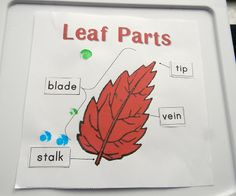 Finding the Teachable Moments: Leaf Unit. The teacher in me can& pass up the opportunity for a science unit. Ideas include leaf identification, rubbings, and more. 1st Grade Science, Kindergarten Science, Teaching Science, Science Activities, Science Projects, Science Inquiry, Kid Science, Science Fair, Fall Preschool