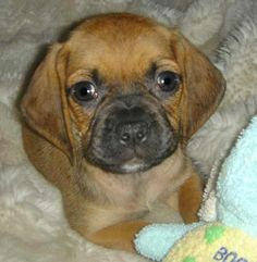 puggle pup! I'm so getting one!