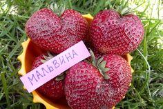 """Ягода сорта клубники """"Мальвина"""" с характерным «лаковым» блеском и темно – малиновым окрасом. Отдает плоды в конце июня по середину июля, тогда, когда все раннеспелые отплодоносили. Вкус - истинно десертный. Форма ягод — короткая конусообразная, средний вес от 40 до 60 грамм."""