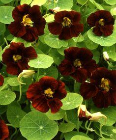 Black Velvet Nasturtium - Nasturtiums - Edible - Flowers - Garden Seeds
