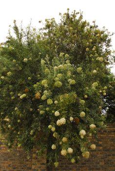 Buddleja saligna - False Olive, is almost endemic to South Africa.