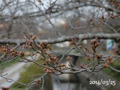 京都 哲学の道 桜 2014/03/25