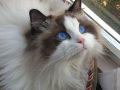 "Should have named him ""Mickey Blue Eyes"" My Enzo from Blue Gem Ragdolls. Ragdoll Cat Kitten."