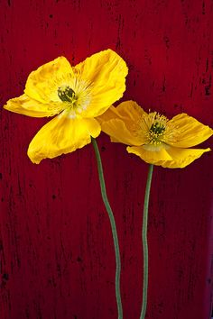 ~~ Two Iceland Poppies ~~