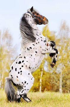 Appaloosa (horse breed) Pony stallion