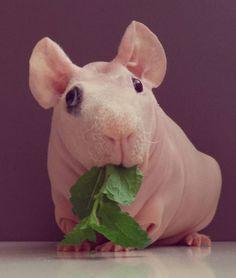 Hairless guinea pig aka skinny pigs