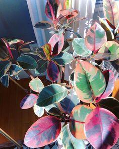Pin on plants Ficus, Garden Plants, Indoor Plants, Belle Plante, Decoration Plante, Pink Plant, Plants Are Friends, Interior Plants, Plant Care