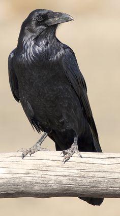 Crow | by xeno_sapien