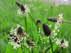 Ribwort Plantain has traditionally been regarded as a mucilage drug. Extract from Ribwort Plantain have revealed several effects as anti-inflammatory, antioxidant, antibacterial, immunostimulant, antitoxic and pro-coagulant effects💪😎💚 Summer Flowers, Colorful Flowers, Wild Flowers, What Do Sheep Eat, Permaculture, Soil Texture, Edible Wild Plants, Wild Edibles, Terrace Garden